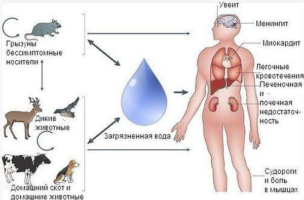 В Самарской области обнаружили лептоспироз илейкоз ускота