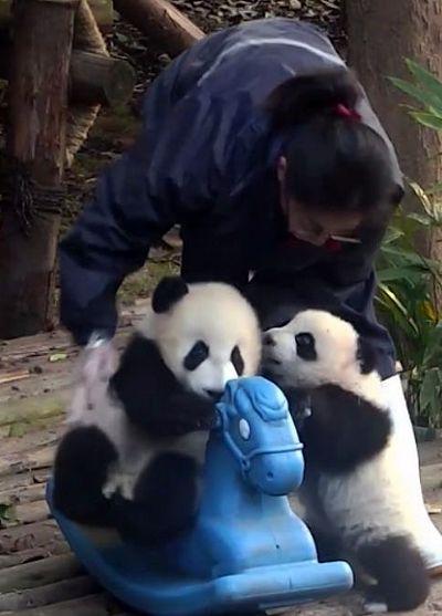 Малыш панда настолько косолапый, что не может усидеть на лошадке: видео | CityTraffic