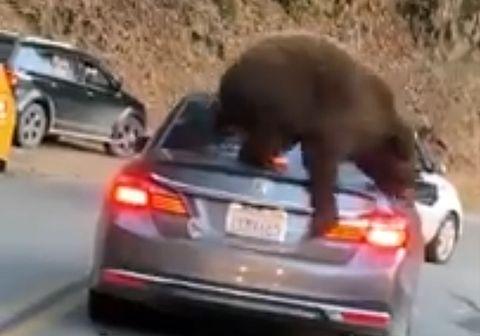 Медведь залез на автомобиль в поисках угощения: видео | CityTraffic
