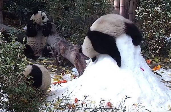 Панда катается со снежной горки, не прекращая жевать бамбук: видео | CityTraffic
