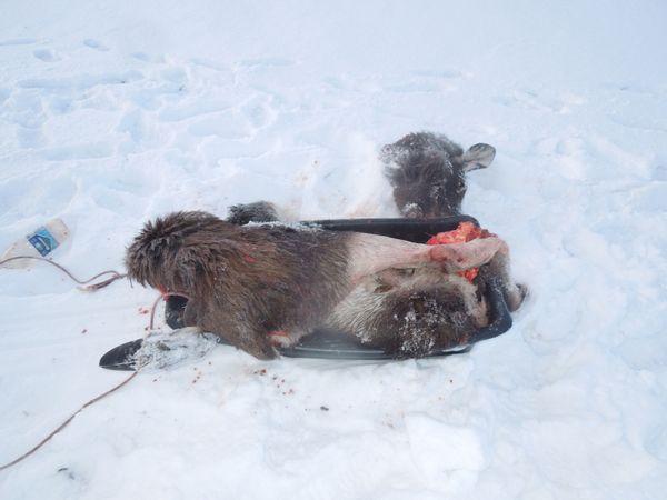 В Самарской области пойман браконьер, убивший лося | CityTraffic