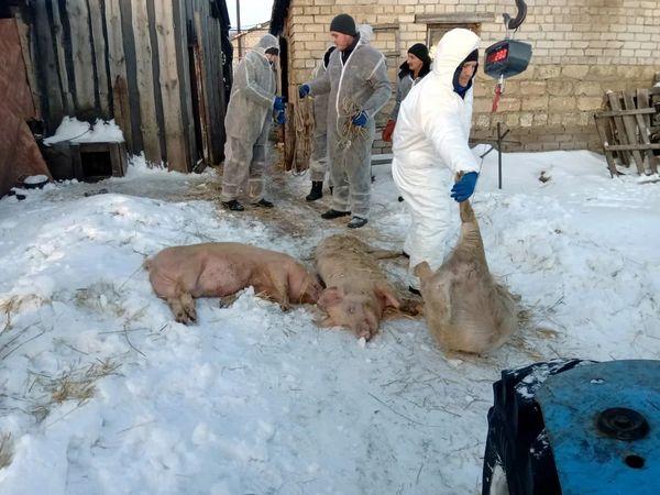 В 11 селах Самарской области уничтожили поголовье свиней