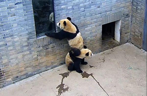 Панда забрался на спину сестры, чтобы заглянуть вокно: видео