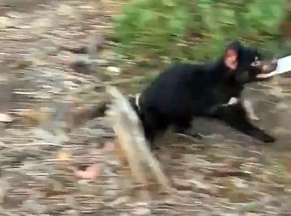 Тасманийский дьявол украл у туриста шоколадку: видео | CityTraffic