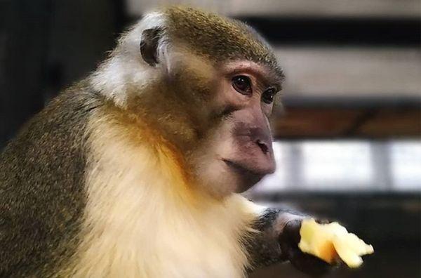 В самарском зоопарке появился золотистый мангобей Роман, обожающий женское внимание   CityTraffic