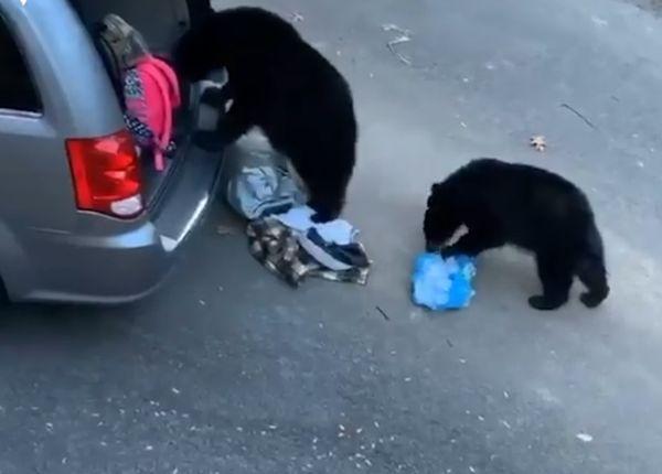 Четверо медведей ограбили машину, хозяин которой не закрыл багажник: видео | CityTraffic