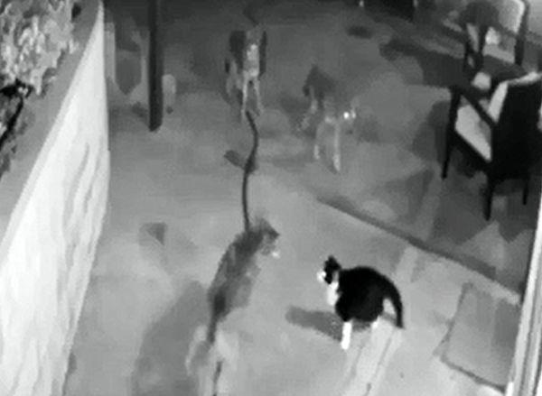 Кот вышел на бой против стаи койотов, охраняя дом: видео