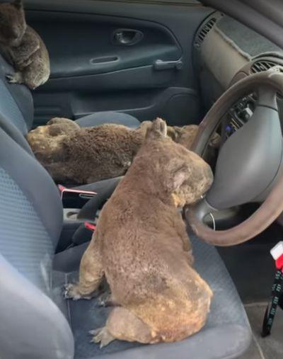 Люди вывезли коал с горящего острова Кенгуру: видео | CityTraffic