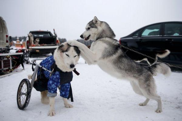 В Самарской области состоится международная гонка на собачьих упряжках | CityTraffic