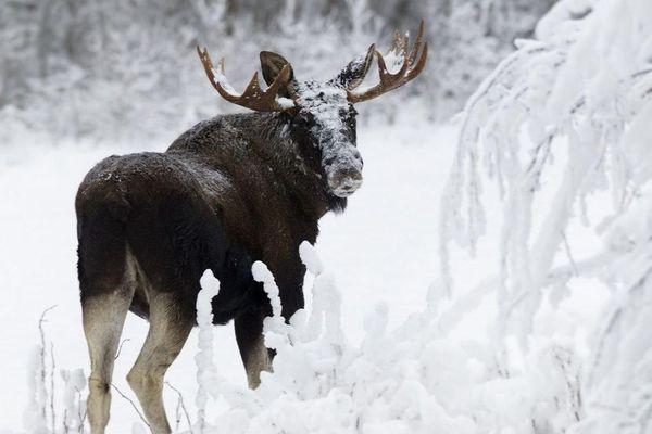 В Самарской области браконьеры убили лося | CityTraffic