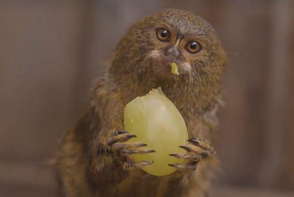 Самые маленькие обезьяны в мире едят виноград размером со свою голову: видео | CityTraffic