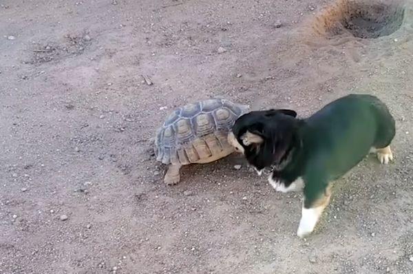 Черепаха играет в догонялки с собакой: видео | CityTraffic