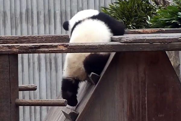 У медвежонка панды слишком короткие ножки, чтобы спуститься с лестницы: видео | CityTraffic