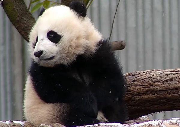 Медвежонок панда обиделся на снег, который не дал ему поспать: видео | CityTraffic