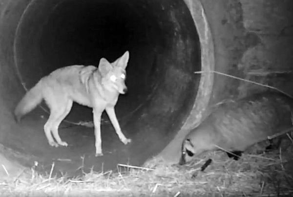 Койот зовет друга-барсука в тоннель, чтобы отправиться вместе на охоту: видео | CityTraffic