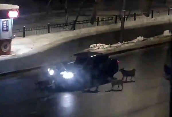 Жители Самары пожаловались на бродячих собак, бросающихся на машины: видео   CityTraffic