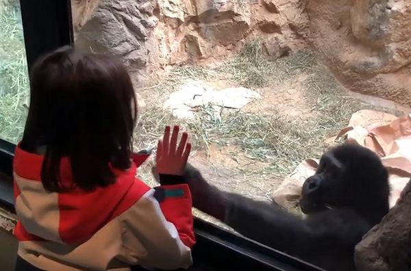 Горилла и 5-летняя девочка устроили веселье в зоопарке: видео | CityTraffic
