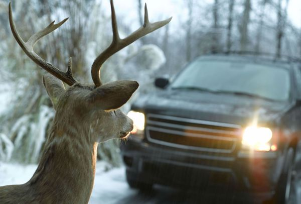 За неделю в Самарской области под колесами автомобилей погибли олень и заяц-русак | CityTraffic