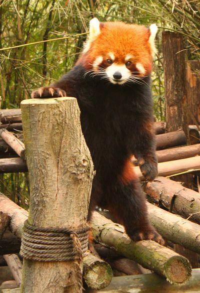 Некоторые панды едят не только бамбук: видео | CityTraffic