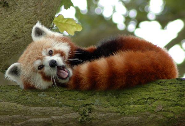 Некоторые панды едят не только бамбук: видео   CityTraffic