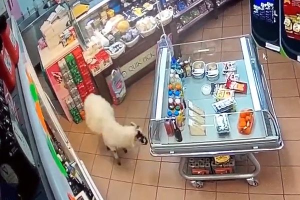 Овца пришла на заправку в поисках банкомата: видео | CityTraffic