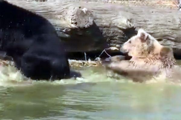 Медведица выгнала из пруда медведя, который мешал ей купаться: видео | CityTraffic