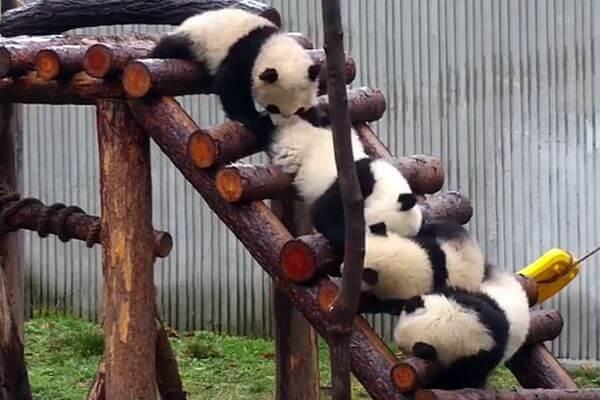 Малыш панда победил конкурентов, свалив их с лестницы: видео   CityTraffic