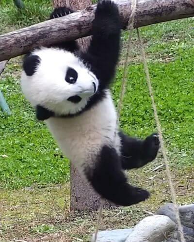 Медвежонок панда пытался подтянуться на турнике полминуты: видео | CityTraffic