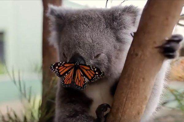 Коала и бабочка неожиданно стали лучшими друзьями: видео | CityTraffic