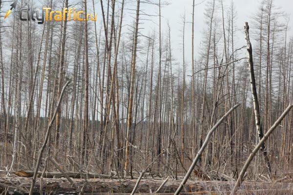 Чиновники Тольятти не освоили даже четверть выделенных на защиту лесов денег | CityTraffic