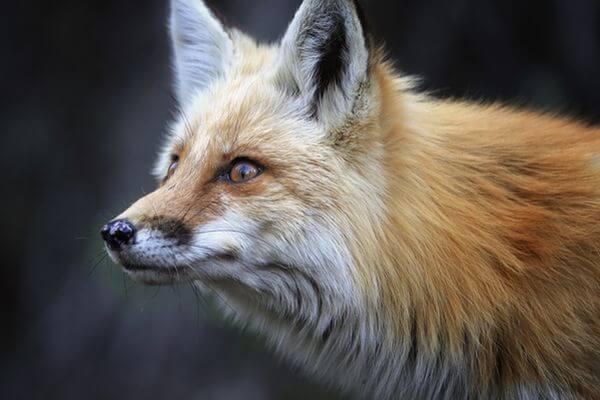 В Самарской области начинается прием заявок от желающих охотиться на  зайца и лису | CityTraffic