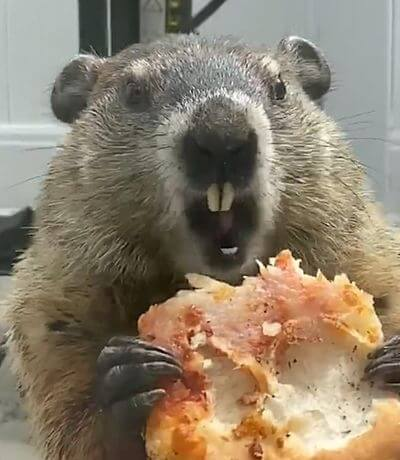 Сурок дерзко ест пиццу на глазах у собак, запертых дома: видео | CityTraffic