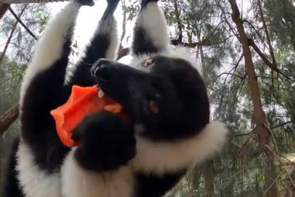 Лемур висит вниз головой, с аппетитом поедая перец: видео | CityTraffic