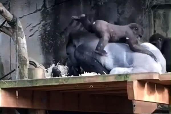 Детеныш гориллы устроил из спины отца горку, скучая на самоизоляции: видео | CityTraffic