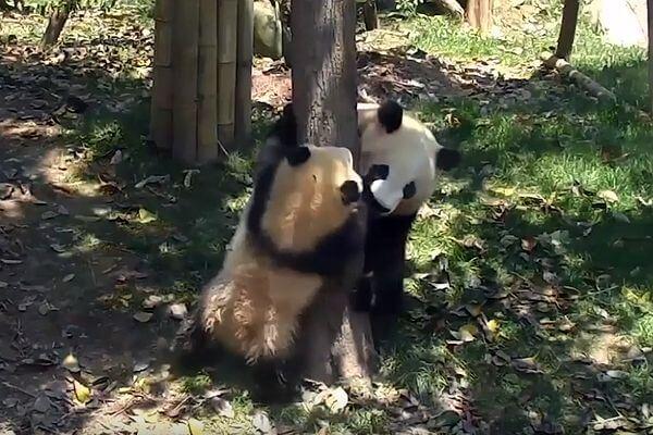 Строгая панда учит медвежонка принимать разочарования достойно: видео | CityTraffic