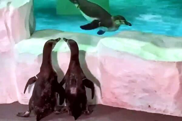 В Самаре пингвины вышли понаблюдать за обитателями океанариума снаружи: видео   CityTraffic