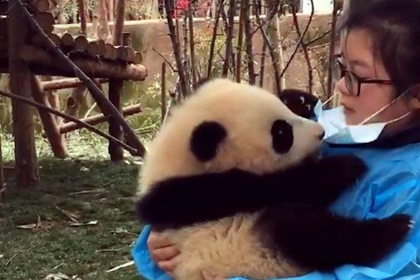 Медвежонок панда снимает маску со своей няни, чтобы поцеловать ее: видео | CityTraffic