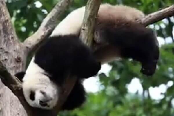 Панда искал удобную позу для сна и застрял на дереве: видео | CityTraffic