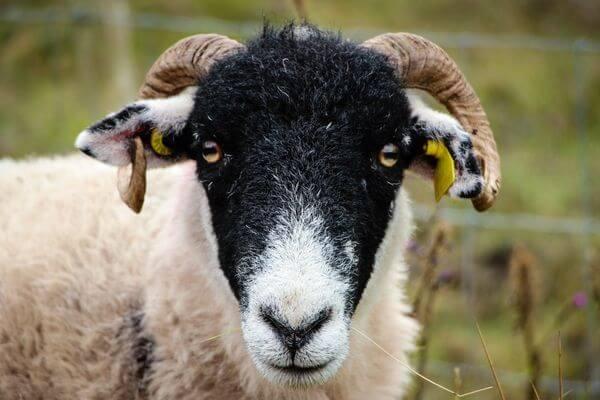 В Самарской области у овец обнаружен очаг болезни, передающейся половым путем | CityTraffic