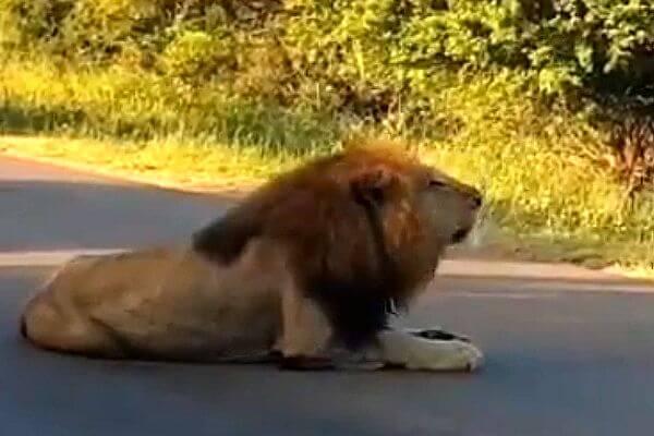 Муха залетела внос льву ипрервала его королевский рык: видео