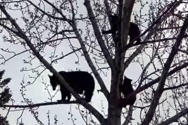 Семья медведей залезла на верхушку дерева отдохнуть: видео