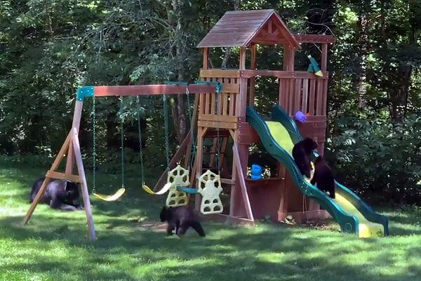 Медведица привела пятерых своих малышей на детскую площадку: видео