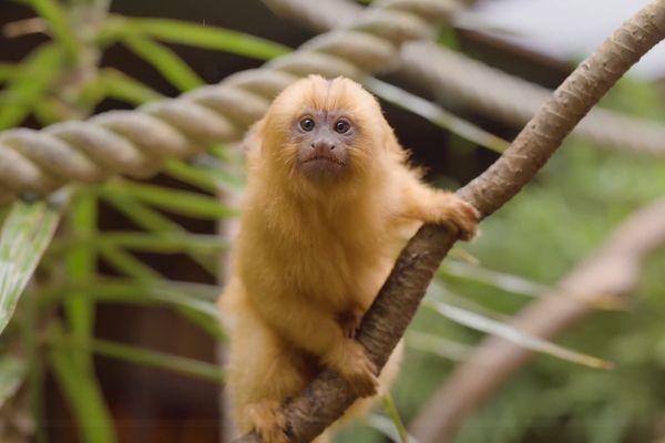 Детеныш крохотной обезьянки чирикает, как птица: видео | CityTraffic