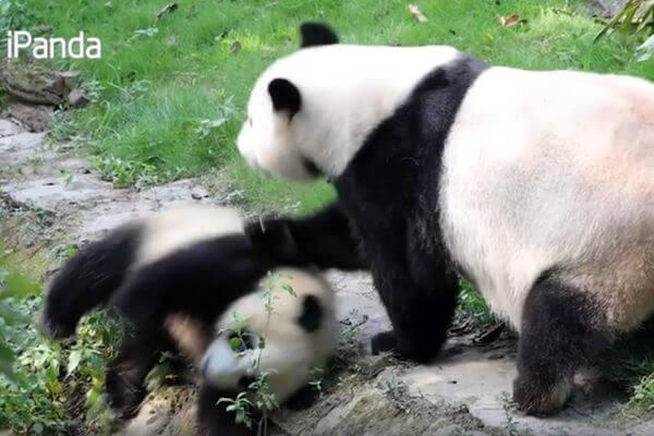 Мама-панда сурово отреагировала на непослушного медвежонка: видео | CityTraffic