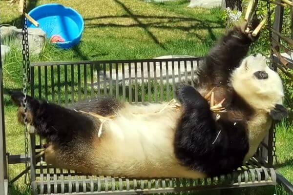 Панда воплощает мечты людей, лежа на качелях ипоедая бамбук: видео