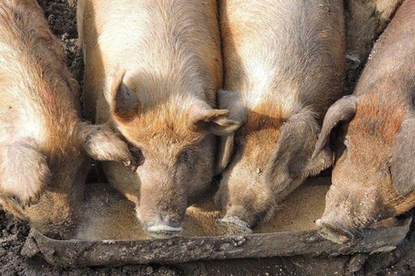 В новом очаге АЧС в Самарской области свиньи заразились, поев отходов из колбасного цеха | CityTraffic
