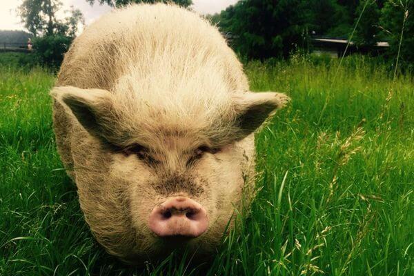 Жители самарского села пожаловались на соседа, свиньи которого гуляют, где захотят | CityTraffic