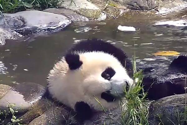 Панда заняла место в ванне, готовясь к жаре: видео   CityTraffic