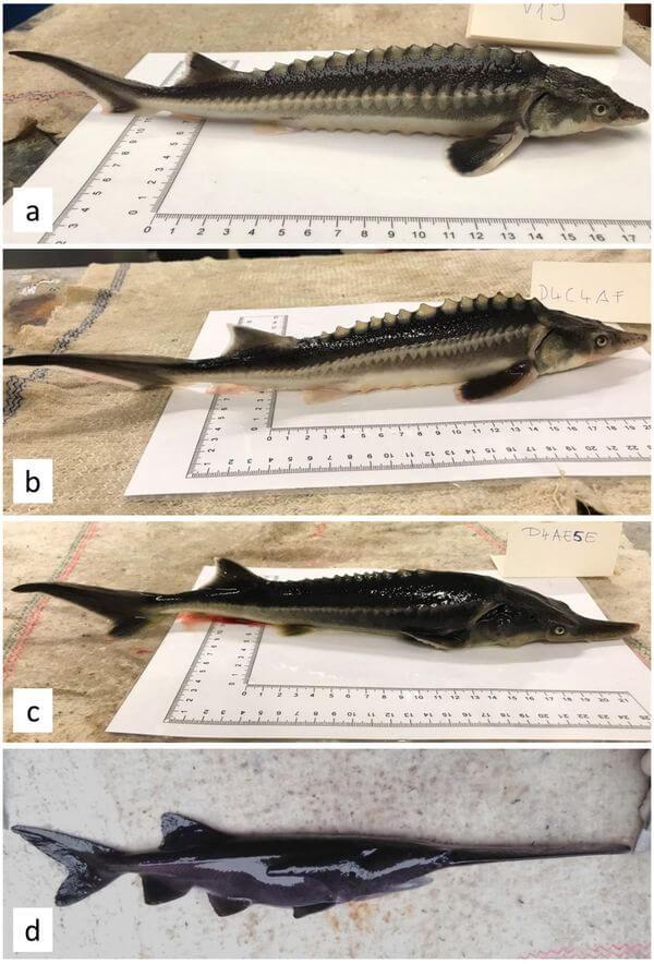 Ученые случайно скрестили русского лосося с американским веслоносом, а гибриды выжили | CityTraffic