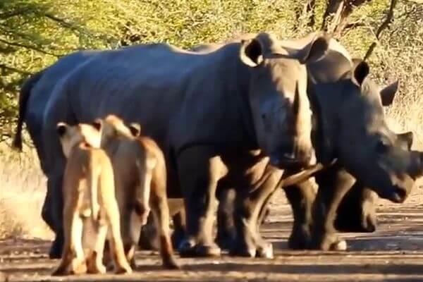Слабоумие или отвага: молодые львы решили преследовать носорогов, видео | CityTraffic